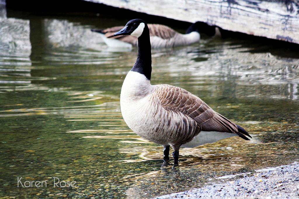 Canada Goose – Cultus Lake