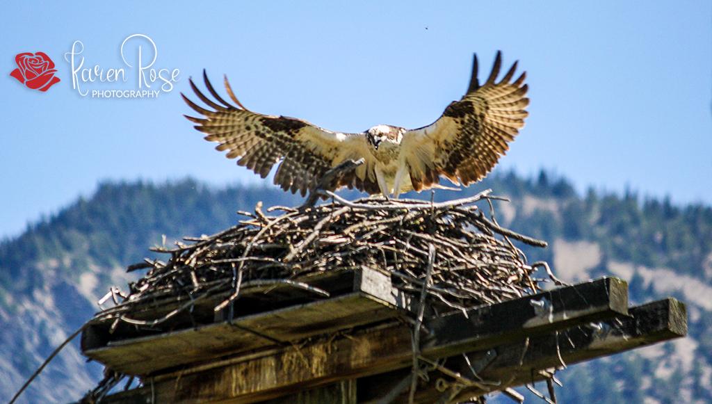 Osprey – Lillooet