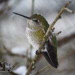 Winter Humming Bird