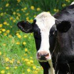 Holstein Cow