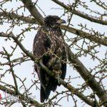Baby Eaglet - Chilliwack