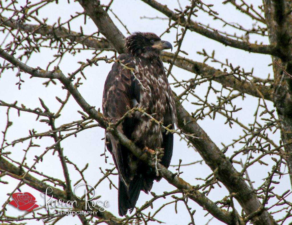 Baby Eaglet – Chilliwack